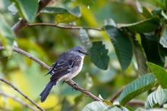 Profil młody Północny Mockingbird Mimus Polyglottos fotografia royalty free