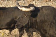 Profil młody walczący byk. TARGET575_1_ Obraz Stock