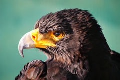 Profil noir d'aigle Photo stock