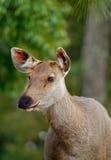 Profil proche vers le haut du brun de cerfs communs d'axe Images stock