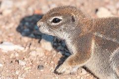 Profil przylądek zmielona wiewiórka, Xerus inauris w Północnym Namib Obrazy Stock