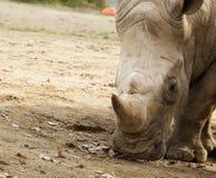 Profil rhinocero Royalty Free Stock Image