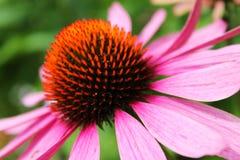 Profil rosa färgblomma Fotografering för Bildbyråer