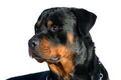 Profil of rottweiler. Watching purebred mastiff rottweiler detoured: beautiful dog Stock Photos