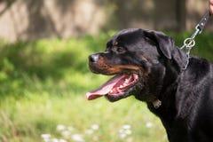 Profil rottweiler pies z smyczem Obrazy Stock