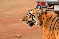 Profil royal de tigre de Bengale Photographie stock libre de droits