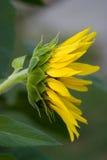 profil słonecznik Fotografia Royalty Free