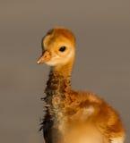 Profil sandhill żurawia dziecko Zdjęcia Royalty Free