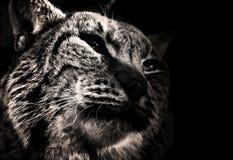 Profil sauvage de chat Photos libres de droits