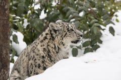 Profil-Schnee-Leopard CUB im Schnee und in den Bäumen Stockbilder
