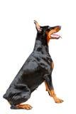 Profil siedzący doberman pinscher Fotografia Royalty Free