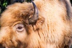 Profil som skjutas av en vit bison Royaltyfri Foto