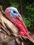 Profil stattliches Erbekastanienbraunes Tom-die Türkei Lizenzfreie Stockfotografie