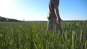 Profil unrecognizable młody średniorolny odprowadzenie przez zboża macania i pola zielonych pszenicznych ucho na letnim dniu zbiory