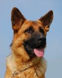 Profil van Duitse herder 2 Royalty-vrije Stock Foto's