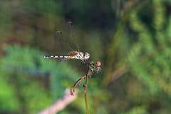 Profil vert de libellule comme il s'accroche au dessus d'une tige d'usine photos libres de droits