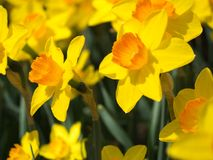 Profil von gelben und orange Narzissen Stockfotografie