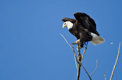 Profil von kahlen Eagle Perched in einem Baum Lizenzfreie Stockbilder