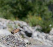 Profil von Pika auf Felsen Lizenzfreie Stockbilder