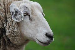 Profil von Schafen auf grünem unscharfem Hintergrund lizenzfreies stockbild