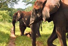 Profil von zwei Elefanten Stockfotografie
