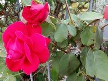 Profil von zwei schönen rosa Rosen und von Grün verlässt auf dem Recht! Romantisch! stockfotos