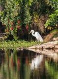 Wielki Biały Egret Obrazy Stock