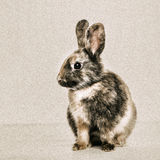 Profil of young rabbit Royalty Free Stock Images