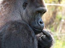 Profil Zachodniej niziny goryl, dorosłej samiec silverback Fotografujący przy Portowym Lympne safari parkiem blisko Ashford Kent  obrazy royalty free