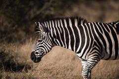 Profilansicht DES EBENENZEBRA (Equus Quagga) stockfotos