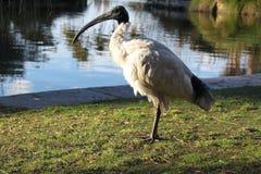 Profilbild av den australiska ibits i Sydney Royaltyfria Bilder