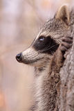 Profile. Of raccoon in a tree Stock Photography