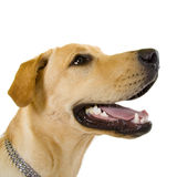 Profile of an adorable Labrador Stock Photo