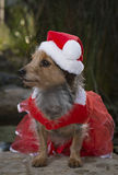 Profile Of Adorable Mixed Breed Dog In Red Lace Dress With Santa Hat Royalty Free Stock Photo