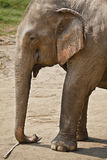 Profile adult elephant. Royalty Free Stock Image