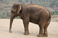 Profile adult elephant. Stock Images