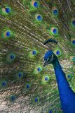 Profile of an adult peacock in full display. Profile of an adult peacock in full colorful display Royalty Free Stock Photo