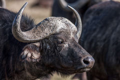 Profile african buffalo cow (Syncerus caffer) portrait, Africa Stock Images