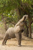 Profile of an African Elephant (Loxodonta africana) feeding. With trunk curled around a branch Royalty Free Stock Photography