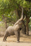 Profile of an African Elephant (Loxodonta africana) feeding. With trunk curled around a branch Stock Image