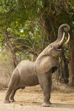 Profile of an African Elephant (Loxodonta africana) feeding Stock Image