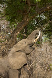 Profile of an African Elephant (Loxodonta africana. ) feeding, with trunk curled around a branch Stock Image