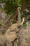 Profile of an African Elephant (Loxodonta africana) feeding. With trunk curled around a branch Stock Photo