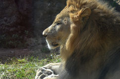 Profile of an African Male Lion on a Summer Day. Profile of an African male lion sleeping on a summer`s day Stock Images