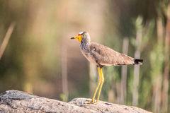 Profile of an African Wattled Lapwing. Royalty Free Stock Images