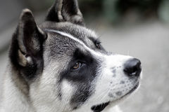 Profile of akita dog Royalty Free Stock Image