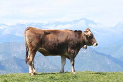 Profile of an Alpine Cow, with Bell. Young cow high in the Italian Alps stock image
