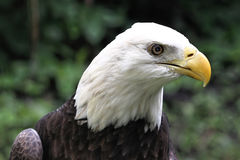 Profile of American Bald Eagle Royalty Free Stock Images
