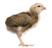 Profile of Araucana, standing. Araucana, also known as a South American Rumpless chick, 19 days old, standing in front of white background Stock Image