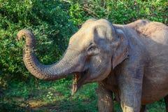 Profile of Asian elephant reaching trunk to eat leaves in Yala National Park. Sri Lanka stock image